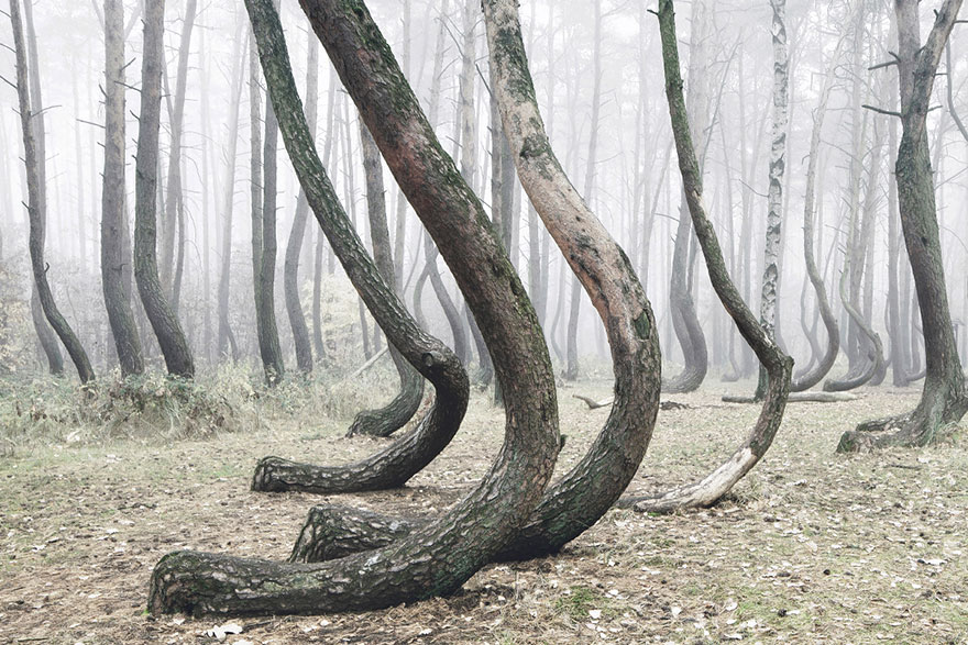 crooked forest krzywy las kilian schonberger poland 2