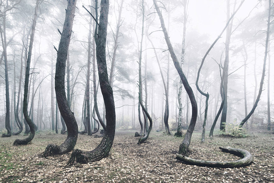 crooked forest krzywy las kilian schonberger poland 4