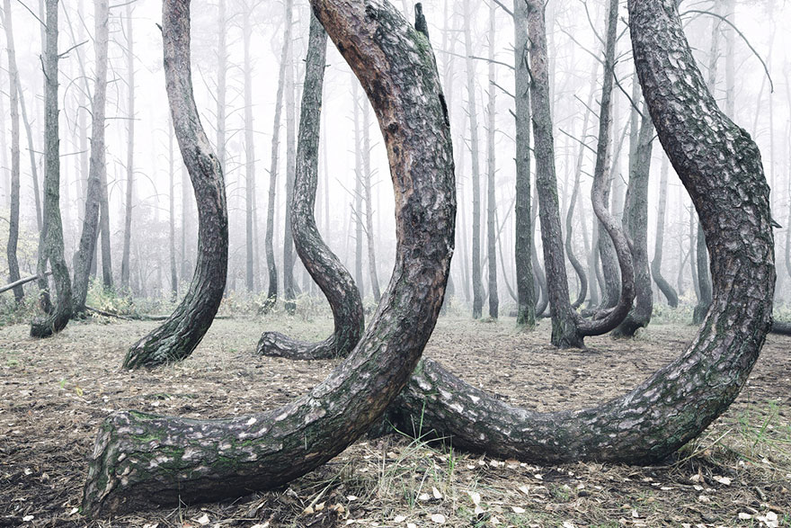 crooked forest krzywy las kilian schonberger poland 7